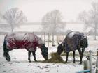 DEC14 Winter horses in snow