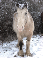 DEC14 winter horse by hedge